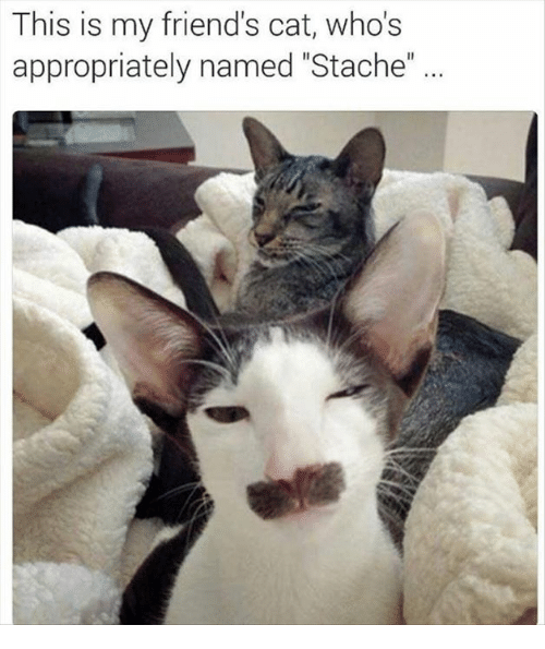"Friend Cat: This is my friend's cat, whos  appropriately named ""Stache"""