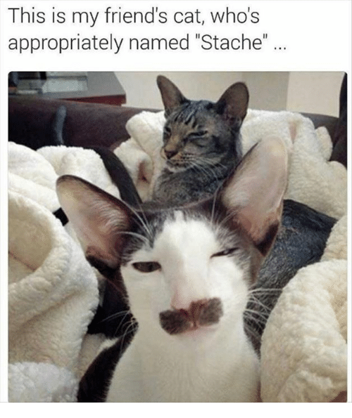 "Friend Cat: This is my friend's cat, who's  appropriately named ""Stache"""