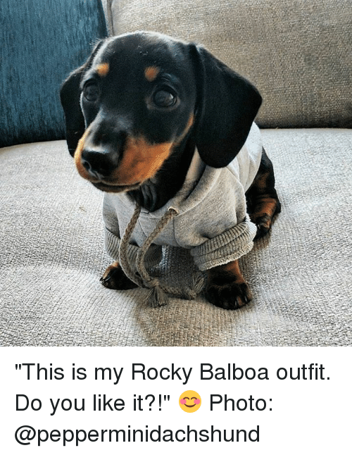 "Do You Like: ""This is my Rocky Balboa outfit.  Do you like it?!"" 😊  Photo: @pepperminidachshund"