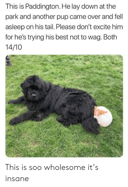 Excite: This is Paddington. He lay down at the  park and another pup came over and fell  asleep on his tail. Please don't excite him  for he's trying his best not to wag. Both  14/10 This is soo wholesome it's insane