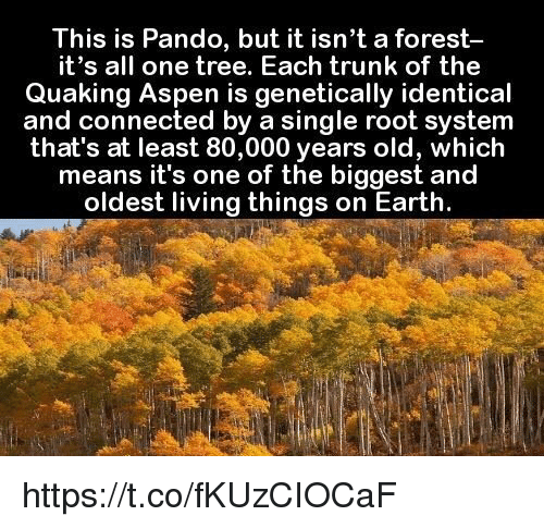 Aspen: This is Pando, but it isn't a forest  it's all one tree. Each trunk of the  Quaking Aspen is genetically identical  and connected by a single root system  that's at least 80,000 years old, which  means it's one of the biggest and  oldest living things on Earth. https://t.co/fKUzCIOCaF