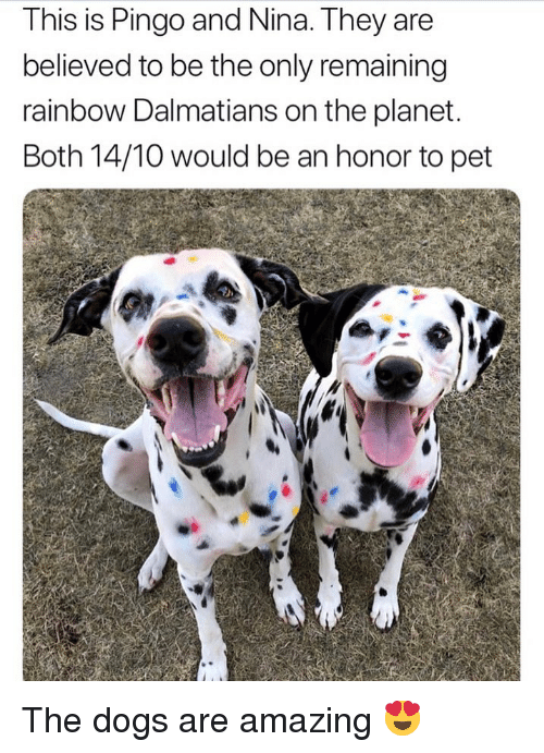 Dogs, Memes, and Rainbow: This is Pingo and Nina. They are  believed to be the only remaining  rainbow Dalmatians on the planet  Both 14/10 would be an honor to pet The dogs are amazing 😍