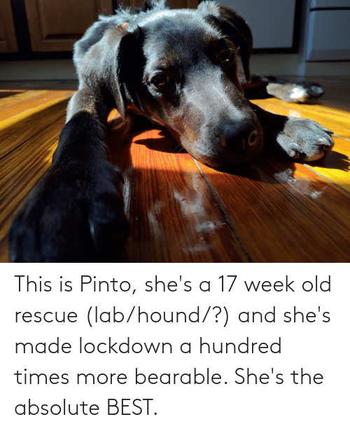 Lab: This is Pinto, she's a 17 week old rescue (lab/hound/?) and she's made lockdown a hundred times more bearable. She's the absolute BEST.