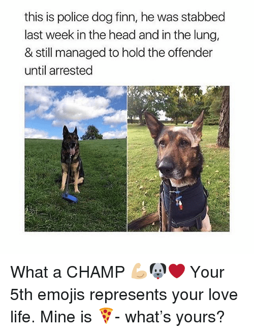 Finn, Head, and Life: this is police dog finn, he was stabbed  last week in the head and in the lung,  & still managed to hold the offender  until arrested What a CHAMP 💪🏼🐶❤️ Your 5th emojis represents your love life. Mine is 🍕- what's yours?