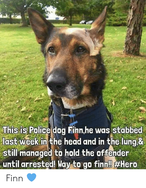Finn: This is Police dog Finn,he was Stabbed  last week in the head and in the lung&  still managed to hold the offender  until arrested! Way to go finn!l Finn 💙