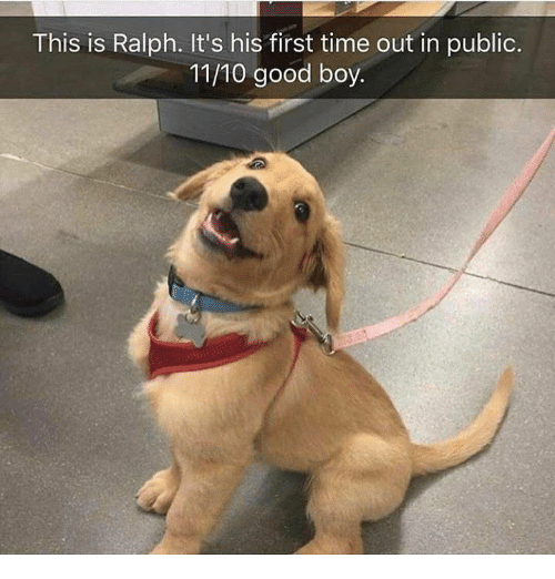 ralphs: This is Ralph. It's his first time out in public.  11/10 good boy.