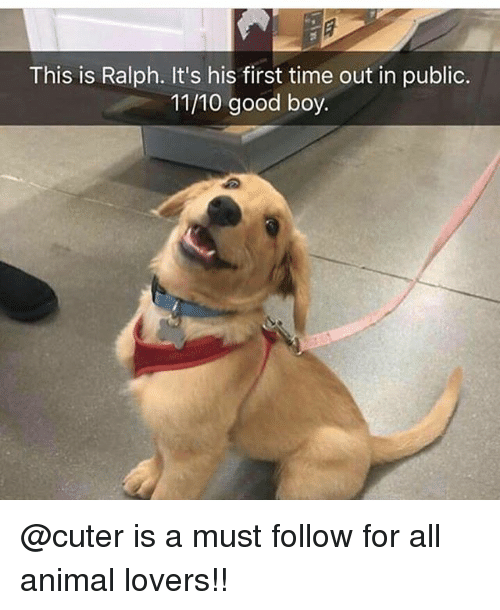 Memes, Animal, and Good: This is Ralph. It's his first time out in public.  11/10 good boy @cuter is a must follow for all animal lovers!!