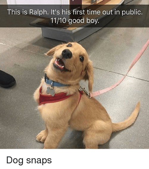 Funny, Good, and Time: This is Ralph. It's his first time out in public  11/10 good boy. Dog snaps