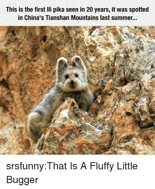 pika: This is the first lli pika seen in 20 years, it was spotted  in China's Tianshan Mountains last summer... srsfunny:That Is A Fluffy Little Bugger