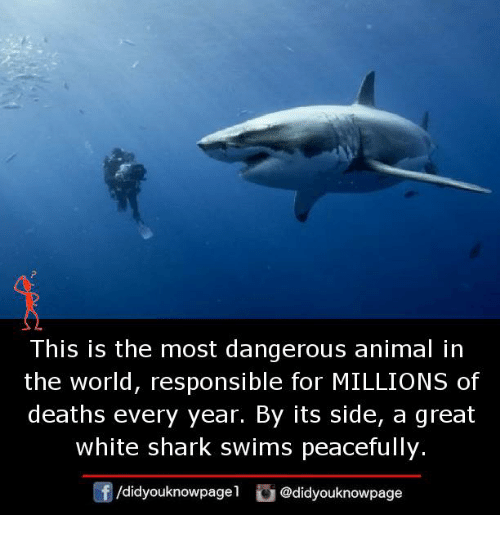 Memes, Shark, and Animal: This is the most dangerous animal in  the world, responsible for MILLIONS of  deaths every year. By its side, a great  white shark swims peacefully.  f/didyouknowpagel@didyouknowpage