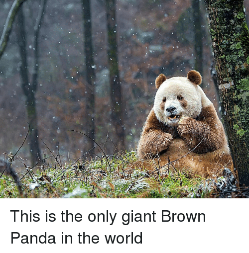 Panda, Giant, and World: This is the only giant Brown Panda in the world