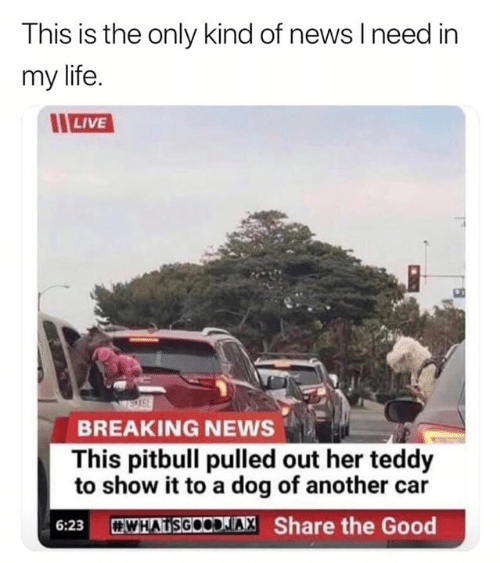 Pitbull: This is the only kind of news I need in  my life  LIVE  BREAKING NEWS  This pitbull pulled out her teddy  to show it to a dog of another car  WHATSGOODLIA, Share the Good  6:23