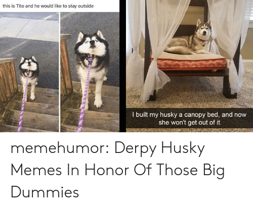 Husky: this is Tito and he would like to stay outside  I built my husky a canopy bed, and now  she won't get out of it. memehumor:  Derpy Husky Memes In Honor Of Those Big Dummies