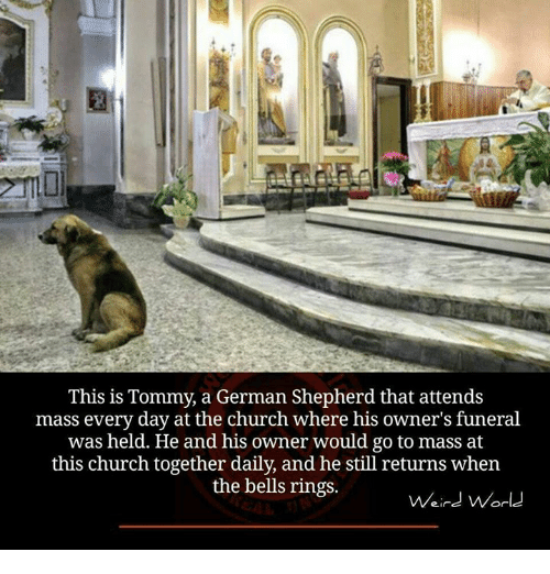 bell ringing: This is Tommy, a German Shepherd that attends  mass every day at the church where his owner's funeral  was held. He and his owner would go to mass at  this church together daily, and he still returns when  the bells rings.  Weird World