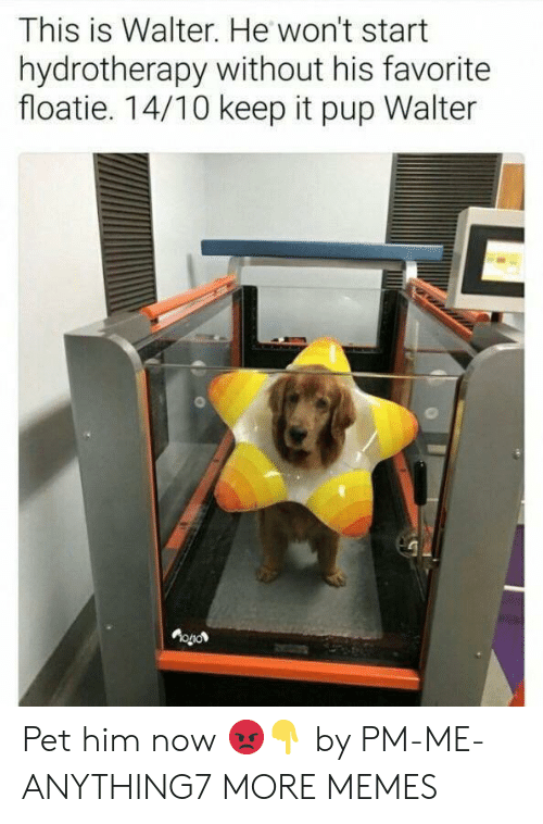 Walter: This is Walter. He won't start  hydrotherapy without his favorite  floatie. 14/10 keep it pup Walter  OOL Pet him now 😡👇 by PM-ME-ANYTHING7 MORE MEMES