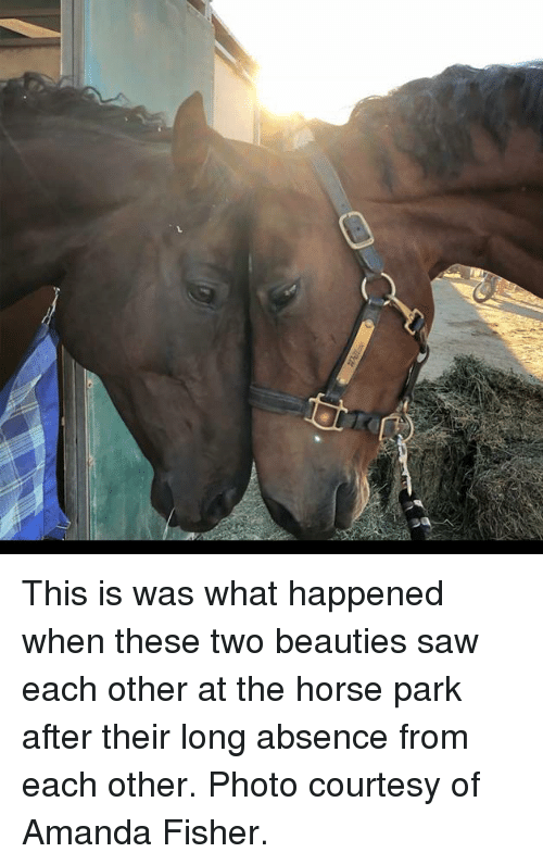 fisher: This is was what happened when these two beauties saw each other at the horse park after their long absence from each other. Photo courtesy of Amanda Fisher.