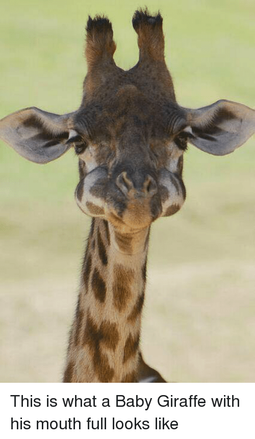 baby giraffe: This is what a Baby Giraffe with his mouth full looks like