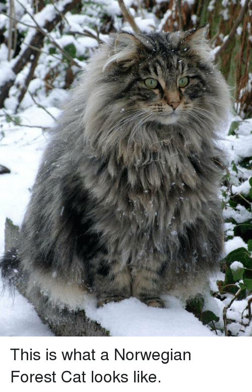 norwegian forest cat: This is what a Norwegian Forest Cat looks like.