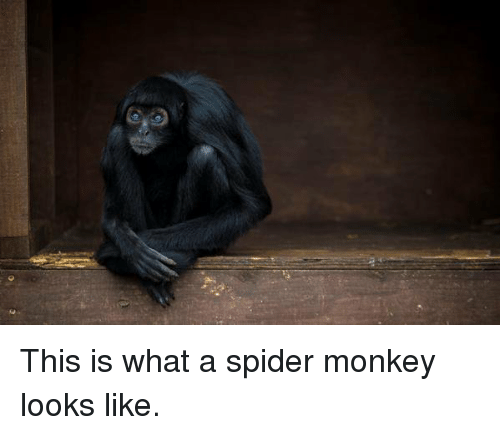 spider monkey: This is what a spider monkey looks like.
