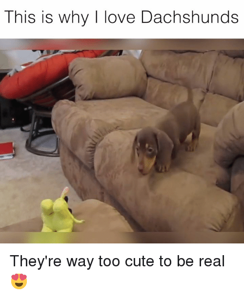 Cute, Love, and Why: This is why I love Dachshunds They're way too cute to be real 😍