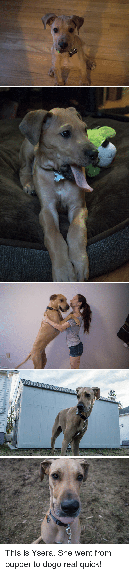 She, Real, and This: This is Ysera. She went from pupper to dogo real quick!