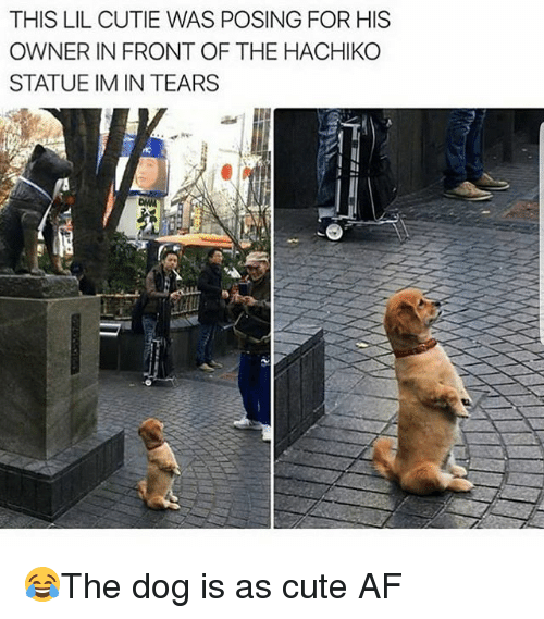 Af, Cute, and Memes: THIS LIL CUTIE WAS POSING FOR HIS  OWNER IN FRONT OF THE HACHIKO  STATUE IM IN TEARS 😂The dog is as cute AF