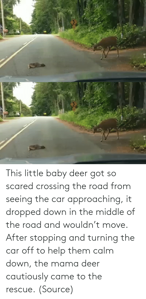 scared: This little baby deer got so scared crossing the road from seeing the car approaching, it dropped down in the middle of the road and wouldn't move. After stopping and turning the car off to help them calm down, the mama deer cautiously came to the rescue. (Source)