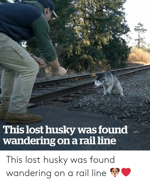 wandering: This lost husky was found  wandering on a rail line This lost husky was found wandering on a rail line 🐶❤️
