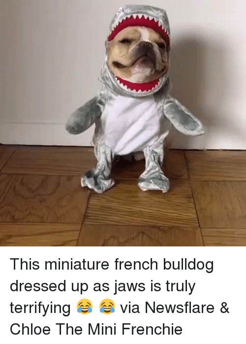 french bulldog: This miniature french bulldog dressed up as jaws is truly terrifying 😂 😂  via Newsflare & Chloe The Mini Frenchie