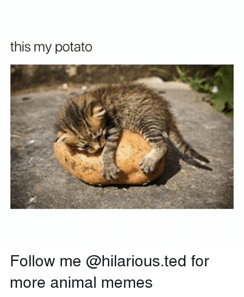 Funny, Memes, and Ted: this my potato Follow me @hilarious.ted for more animal memes