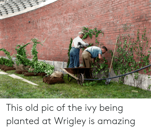 Wrigley: This old pic of the ivy being planted at Wrigley is amazing