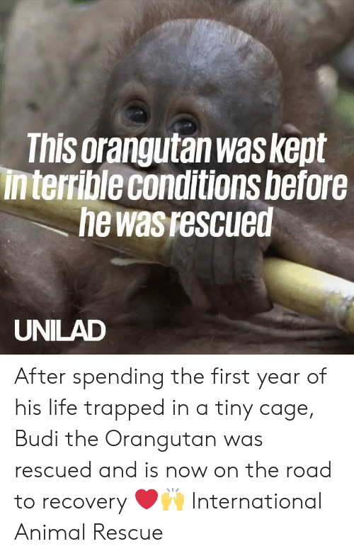 On the Road: This orangutan was kept  interrible conditions before  he was rescued  UNILAD After spending the first year of his life trapped in a tiny cage, Budi the Orangutan was rescued and is now on the road to recovery ❤️️🙌   International Animal Rescue