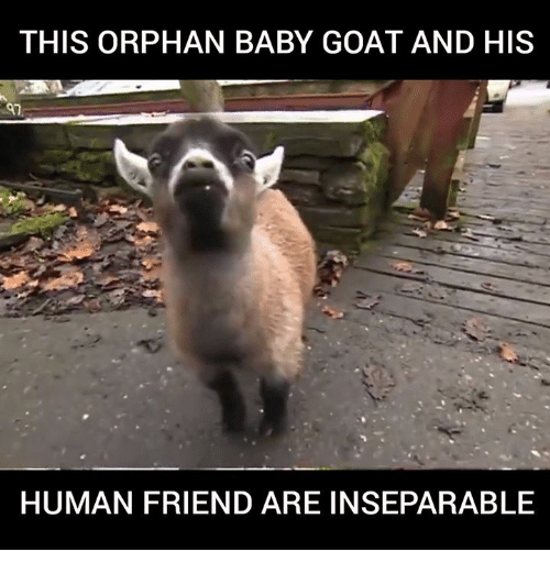 Memes, Goat, and Baby Goat: THIS ORPHAN BABY GOAT AND HIS  HUMAN FRIEND ARE INSEPARABLE