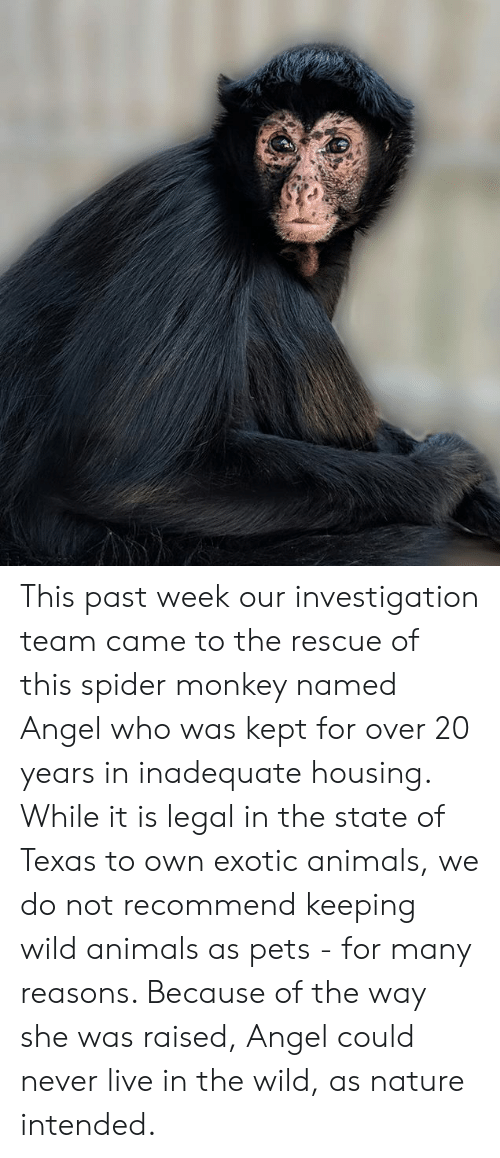 spider monkey: This past week our investigation team came to the rescue of this spider monkey named Angel who was kept for over 20 years in inadequate housing. While it is legal in the state of Texas to own exotic animals, we do not recommend keeping wild animals as pets - for many reasons.  Because of the way she was raised, Angel could never live in the wild, as nature intended.