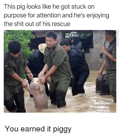 Gotted: This pig looks like he got stuck on  purpose for attention and he's enjoying  the shit out of his rescue You earned it piggy