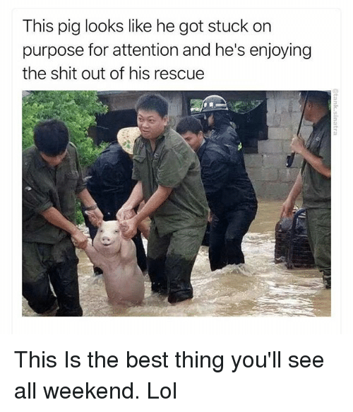 Funny, Lol, and Shit: This pig looks like he got stuck on  purpose for attention and he's enjoying  the shit out of his rescue This Is the best thing you'll see all weekend. Lol