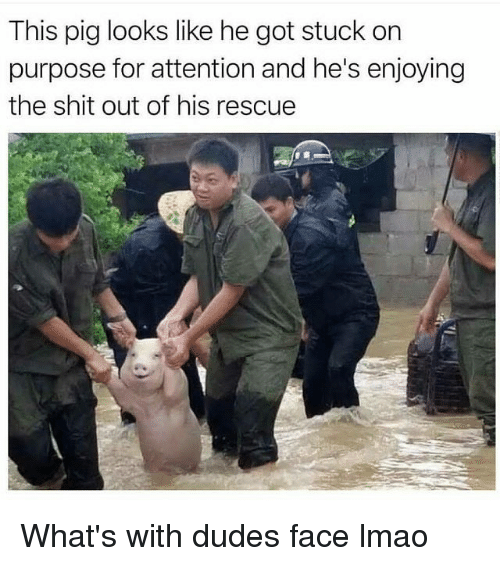 Funny, Lmao, and Shit: This pig looks like he got stuck on  purpose for attention and he's enjoying  the shit out of his rescue What's with dudes face lmao