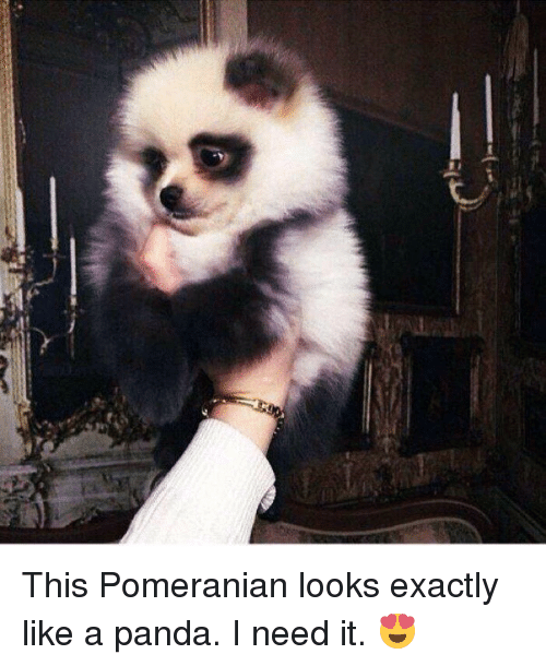 Panda, Pomeranian, and Girl Memes: This Pomeranian looks exactly like a panda. I need it. 😍