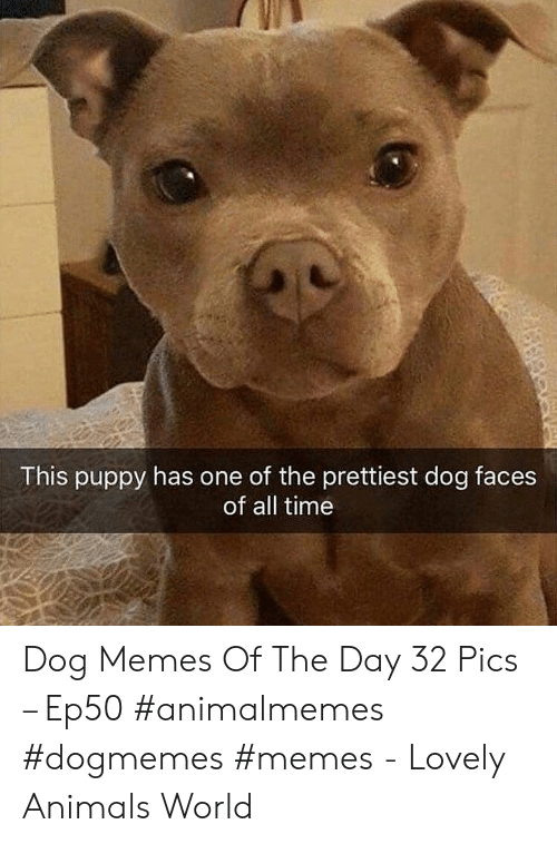 Dog Faces: This puppy has one of the prettiest dog faces  of all time Dog Memes Of The Day 32 Pics – Ep50 #animalmemes #dogmemes #memes - Lovely Animals World