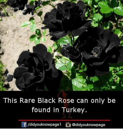 Memes, Black, and Rose: This Rare Black Rose can only be  found in Turkey.  /didyouknowpage1  G @didyouknowpage