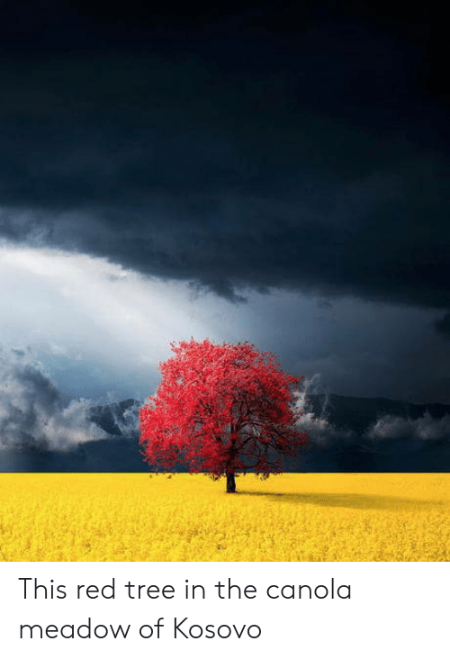 Meadow: This red tree in the canola meadow of Kosovo