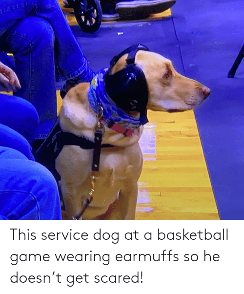 earmuffs: This service dog at a basketball game wearing earmuffs so he doesn't get scared!