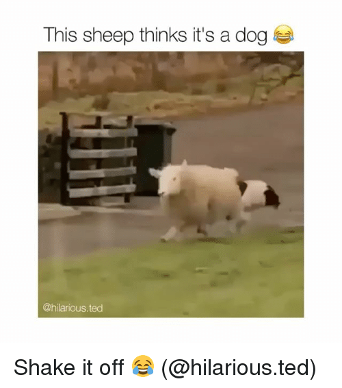 sheeps: This sheep thinks it's a dog  @hilarious.ted Shake it off 😂 (@hilarious.ted)