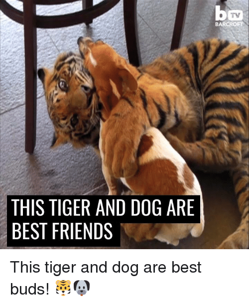 friends tv: THIS TIGER AND DOG ARE  BEST FRIENDS  TV  BARCRO This tiger and dog are best buds! 🐯🐶