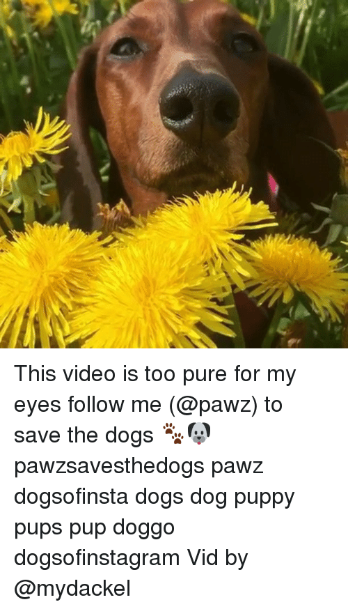 Dogs, Memes, and Puppy: This video is too pure for my eyes follow me (@pawz) to save the dogs 🐾🐶 pawzsavesthedogs pawz dogsofinsta dogs dog puppy pups pup doggo dogsofinstagram Vid by @mydackel