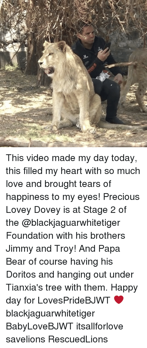 papa bear: This video made my day today, this filled my heart with so much love and brought tears of happiness to my eyes! Precious Lovey Dovey is at Stage 2 of the @blackjaguarwhitetiger Foundation with his brothers Jimmy and Troy! And Papa Bear of course having his Doritos and hanging out under Tianxia's tree with them. Happy day for LovesPrideBJWT ❤️ blackjaguarwhitetiger BabyLoveBJWT itsallforlove savelions RescuedLions