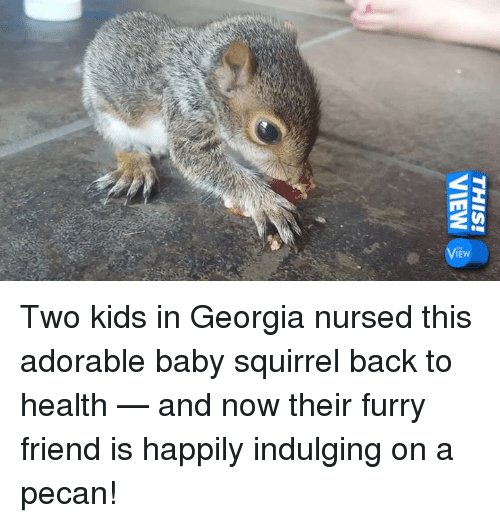 indulgent: THIS!  VIEW Two kids in Georgia nursed this adorable baby squirrel back to health — and now their furry friend is happily indulging on a pecan!