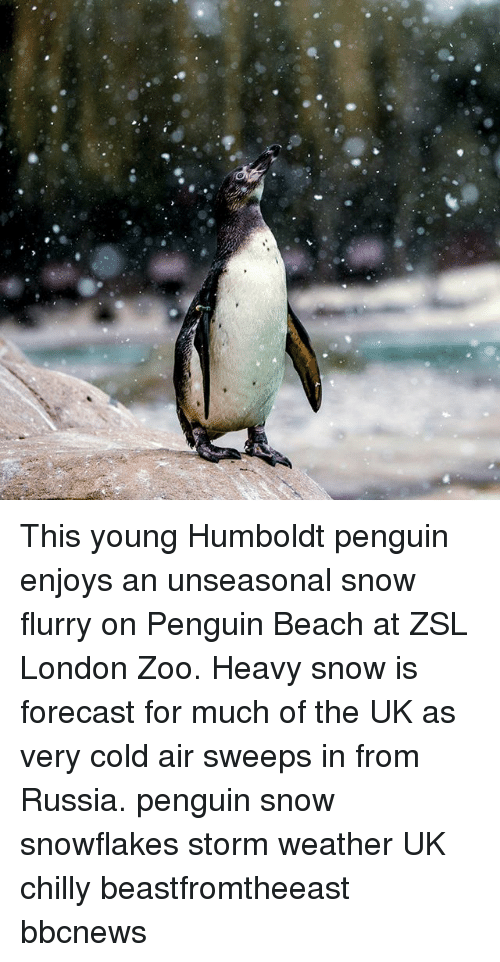 Memes, Beach, and Forecast: This young Humboldt penguin enjoys an unseasonal snow flurry on Penguin Beach at ZSL London Zoo. Heavy snow is forecast for much of the UK as very cold air sweeps in from Russia. penguin snow snowflakes storm weather UK chilly beastfromtheeast bbcnews