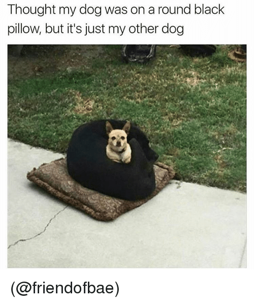 Funny, Meme, and Pillow: Thought my dogwas on a round black  pillow, but it's just my other dog (@friendofbae)