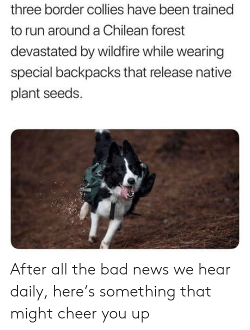 Chilean: three border collies have been trained  to run around a Chilean forest  devastated by wildfire while wearing  special backpacks that release native  plant seeds. After all the bad news we hear daily, here's something that might cheer you up
